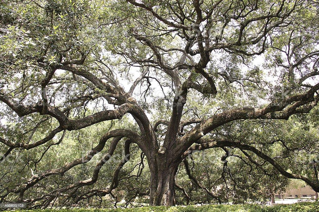 Gran árbol de derivación - foto de stock