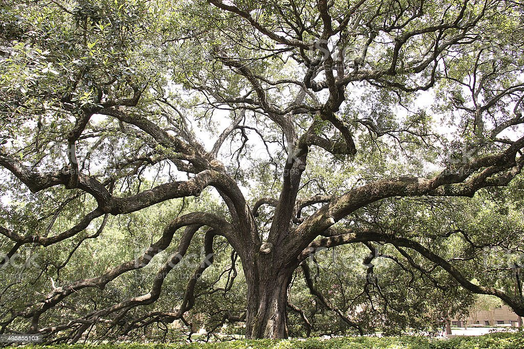Huge branching tree stock photo