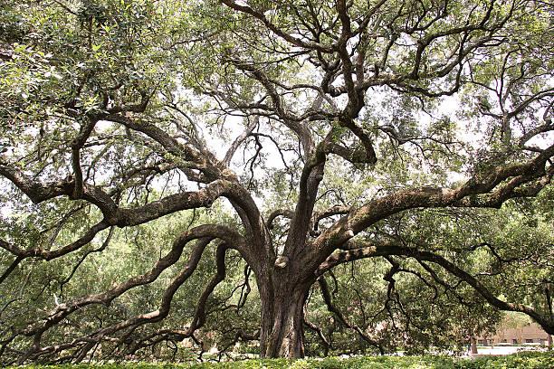 huge branching tree - 族譜 個照片及圖片檔