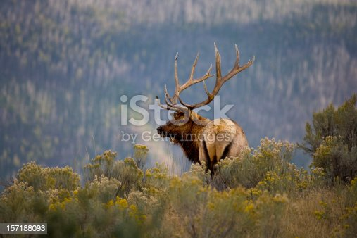 Huge Bull Elk as Part of a  Scenic Background.