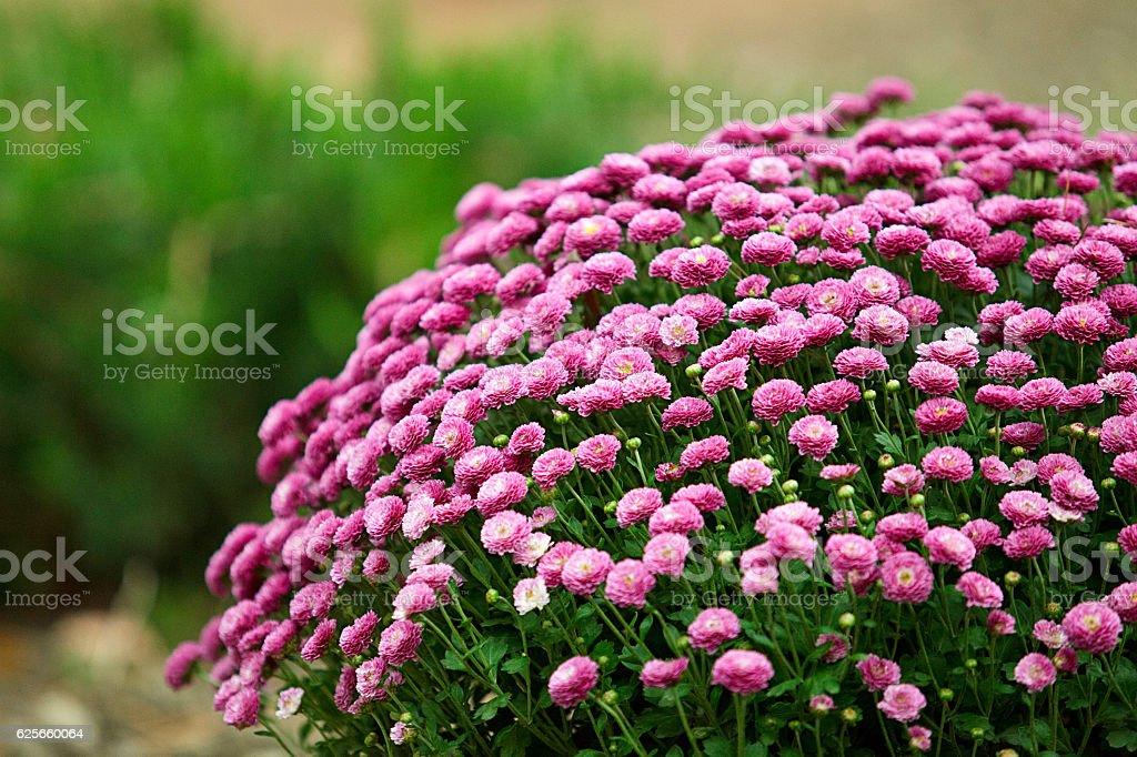 Huge bush of purple chrysanthemums in the garden stock photo
