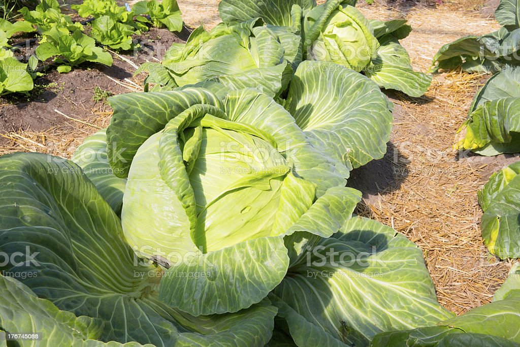Huge Cabbage grown in Skagway Alaska royalty-free stock photo