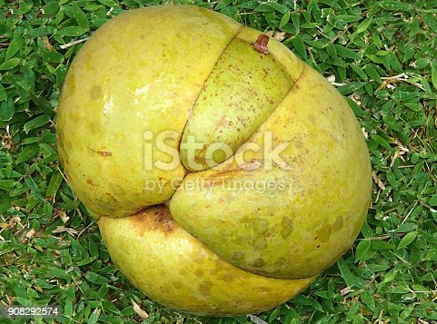 A large ripe yellowgreen fruit, named dillenia indica is lying on a green meadow in the seychelles