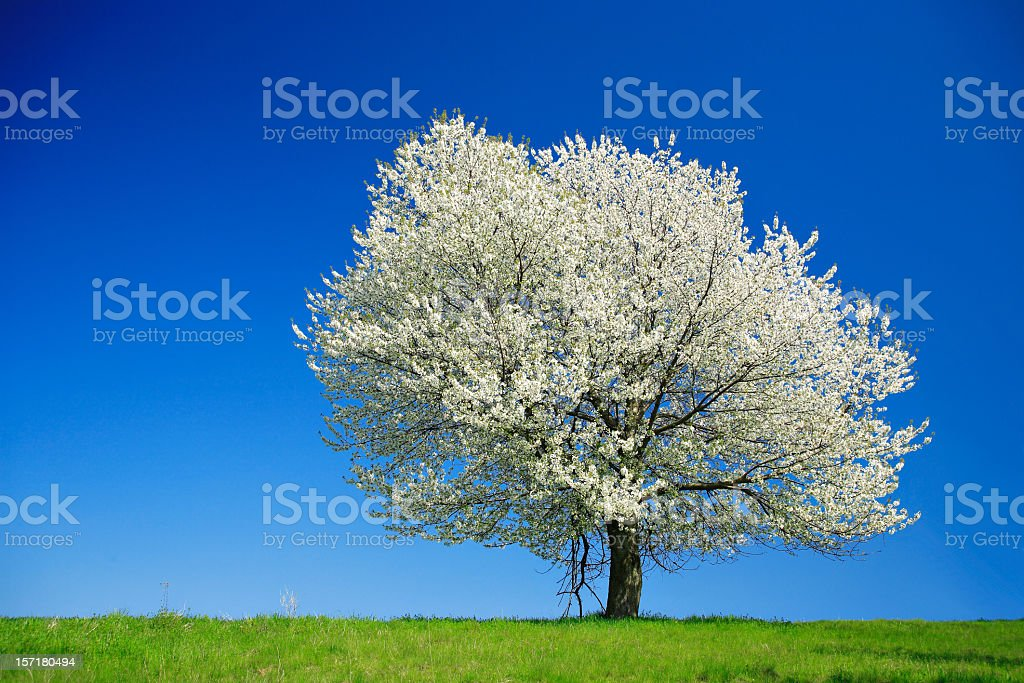 Huge Cherry Tree Blooming on Meadow in Spring Landscape stock photo