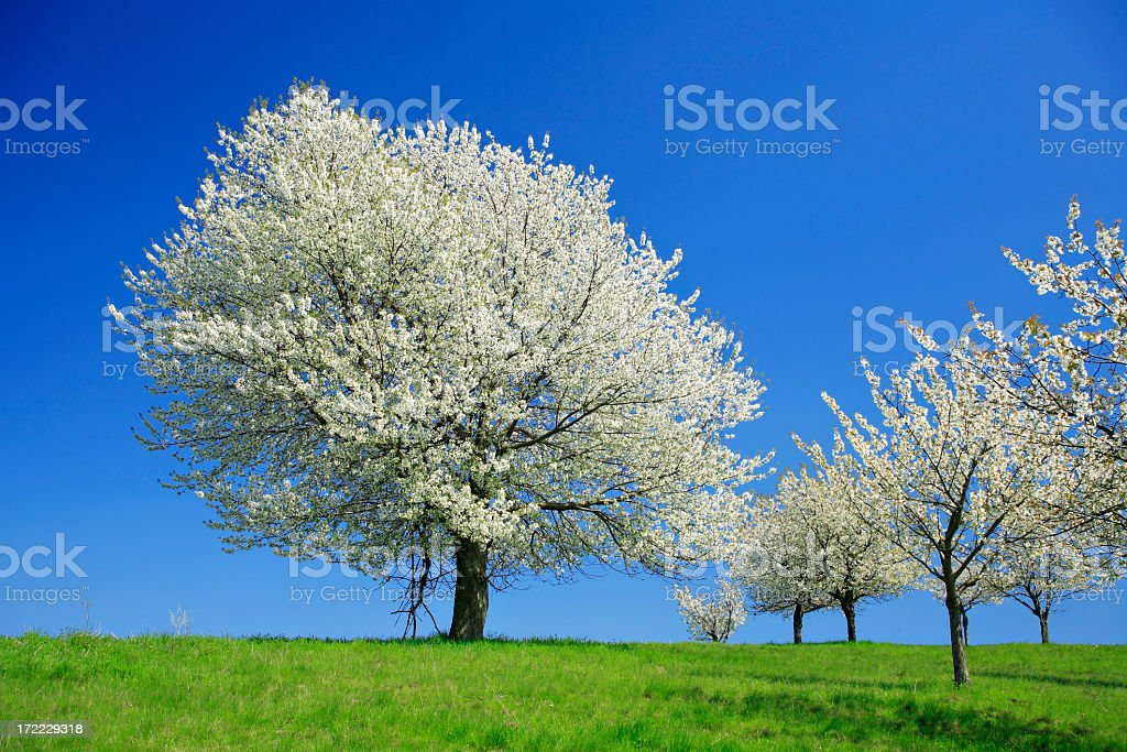 Huge Cherry Tree Blossoming in Spring Orchard royalty-free stock photo