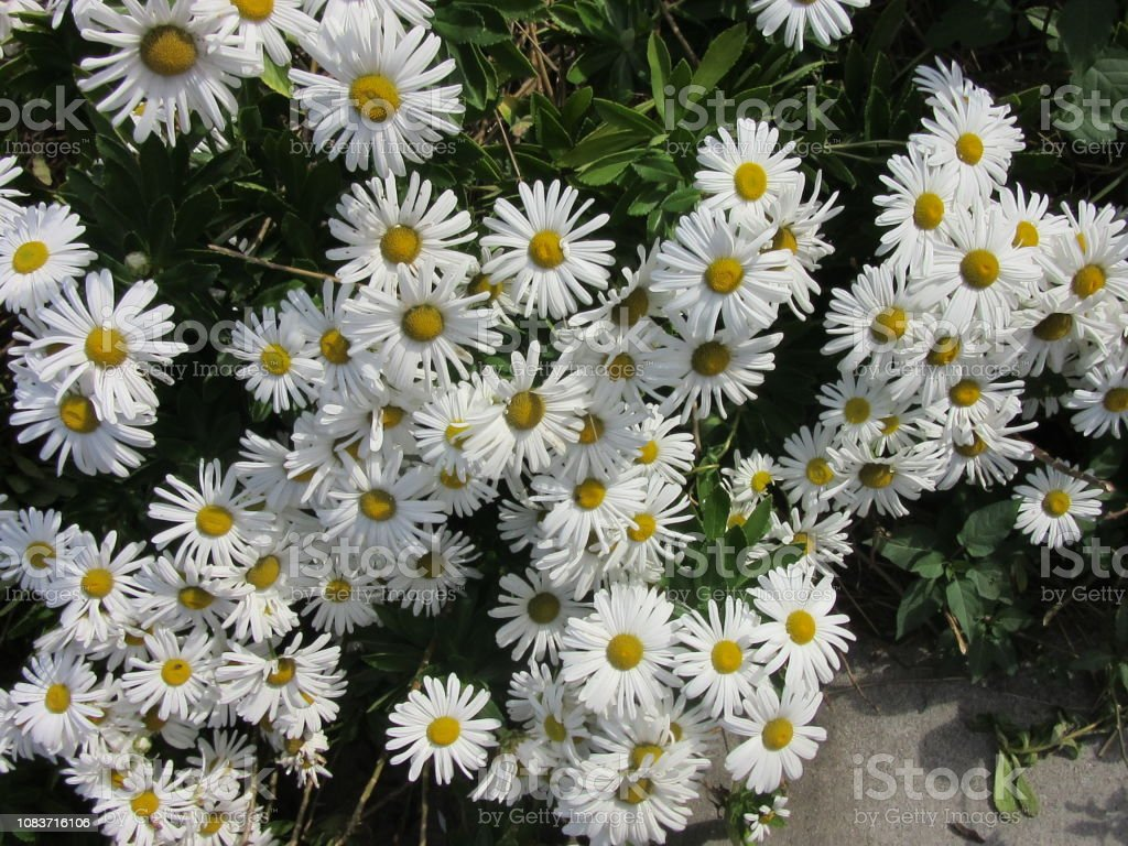 Huge Cluster of White Daisies stock photo