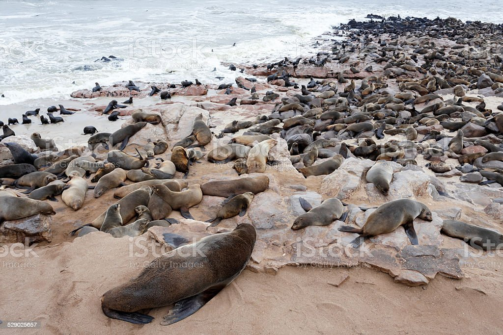huge colony of Brown fur seal - sea lions stock photo