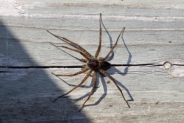 Huge Cottage Dock Spider stock photo