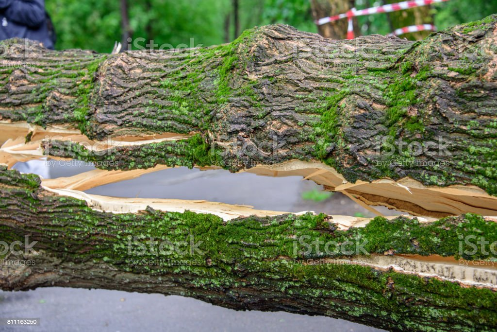 A huge crack in a tree fallen across the road as a result of the severe hurricane winds in one of courtyards of Moscow stock photo