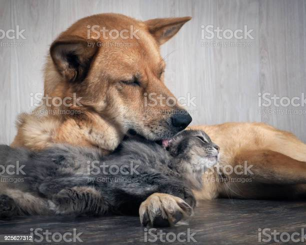 Huge dog licking a cat picture id925627312?b=1&k=6&m=925627312&s=612x612&h=78c7vl1kzfkeivl6mond7abnwx1pgghj10ykcwoja9o=