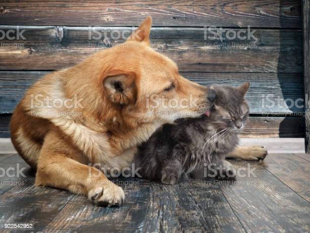 Huge dog licks unhappy cat picture id922542952?b=1&k=6&m=922542952&s=612x612&h=ympdqquvnzvit s2btxswix121ex7gozay4x1hopcea=