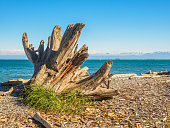 Huge driftwood stump on the beach in Victoria, BC, Canada