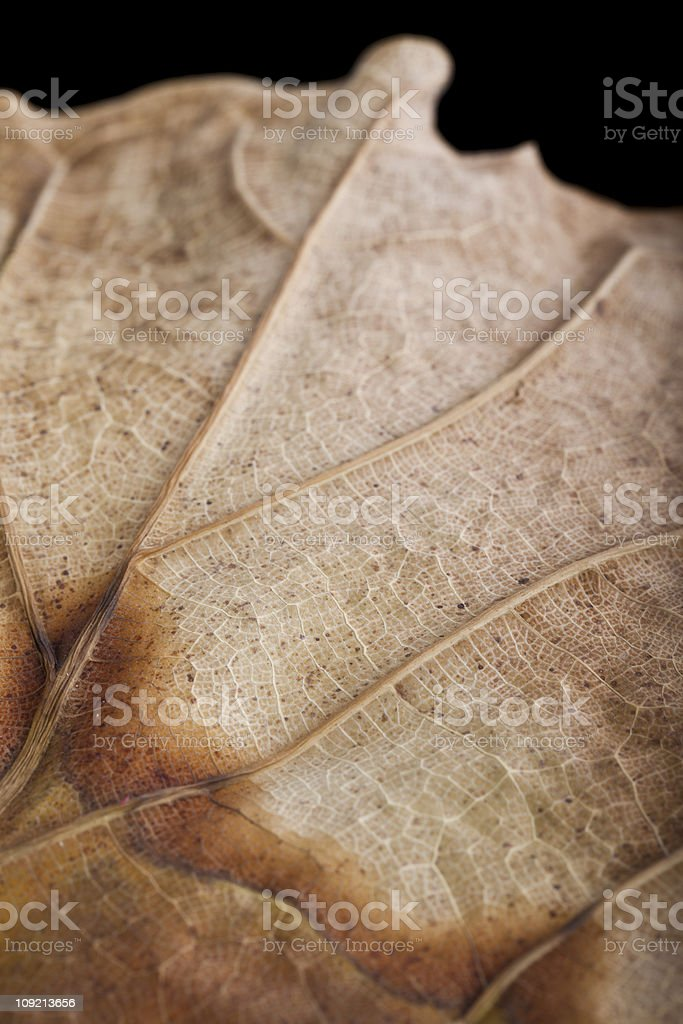 huge dry leaf close up stock photo