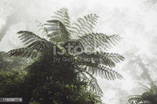 Huge fern in mystical tropical forest in fog. Jurassic period atmosphere