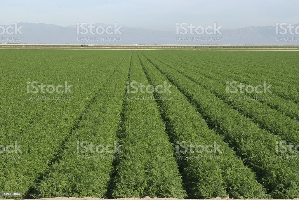 Huge field of carrots royalty-free stock photo