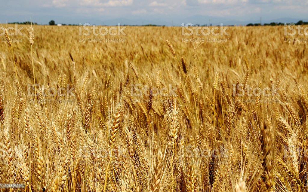 huge  field of wheat stalks are ready to be harvested stock photo
