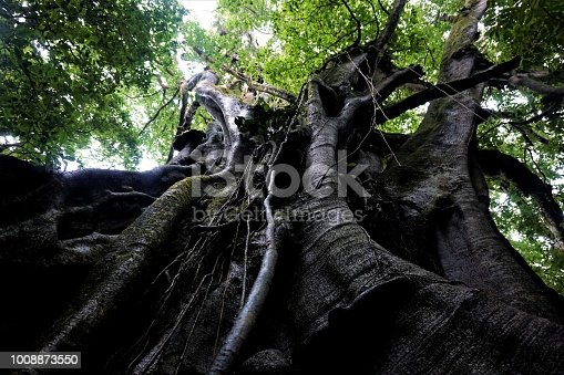Huge fig tree in the Curicancha Reserve, Costa Rica