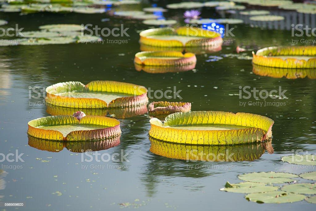 Huge floating lotus,Giant Amazon water lily,Victoria amazonia stock photo