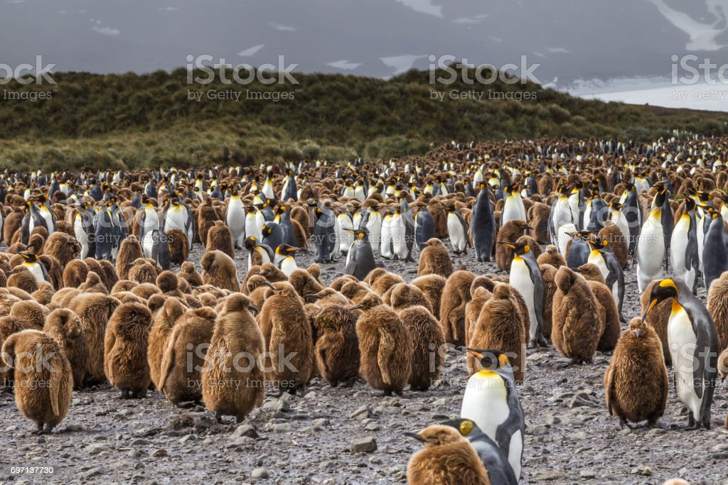 Huge flock of oakum boys and King Penguins at Salsbury Plains in South Georgia stock photo
