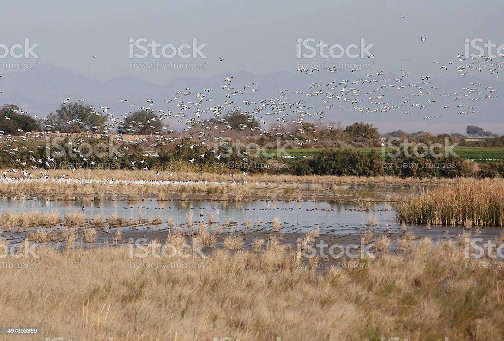 Huge Flock of Snow Geese stock photo
