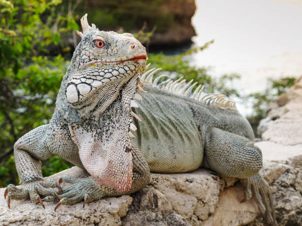 Huge green iguana with pink eyes on Caribbean island of Curacao stock photo