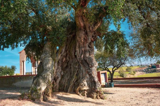 Huge Green Olive Zaragoza Spain stock photo