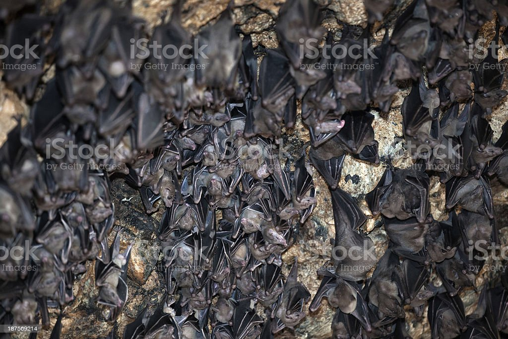 Huge Group of Bats in a Cave royalty-free stock photo