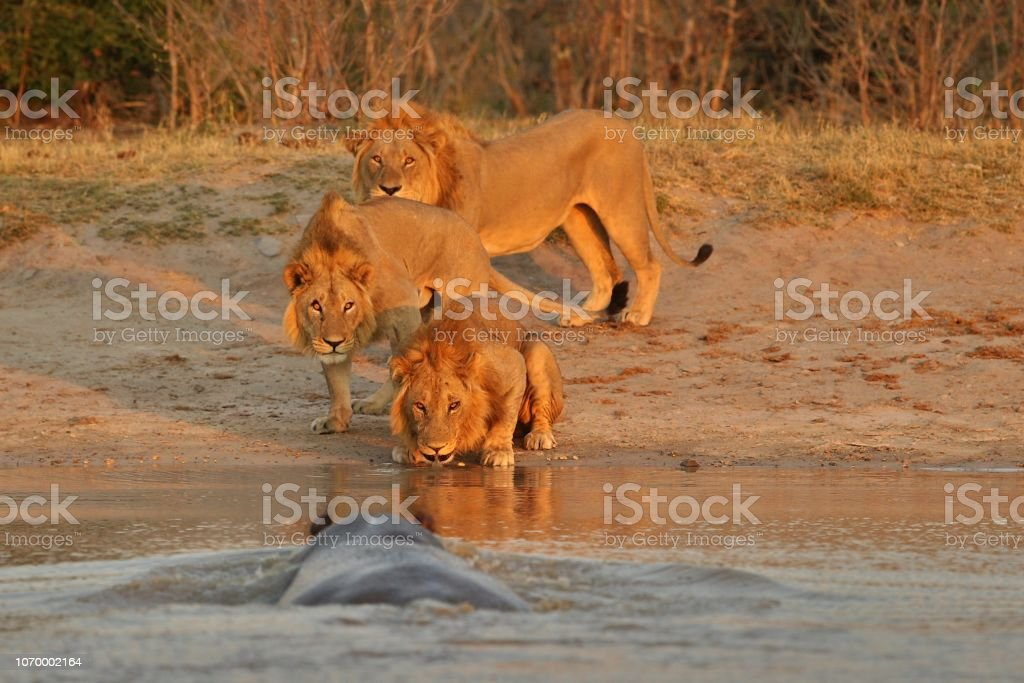 Huge hippo charging at three lion brothers in the evening light. stock photo
