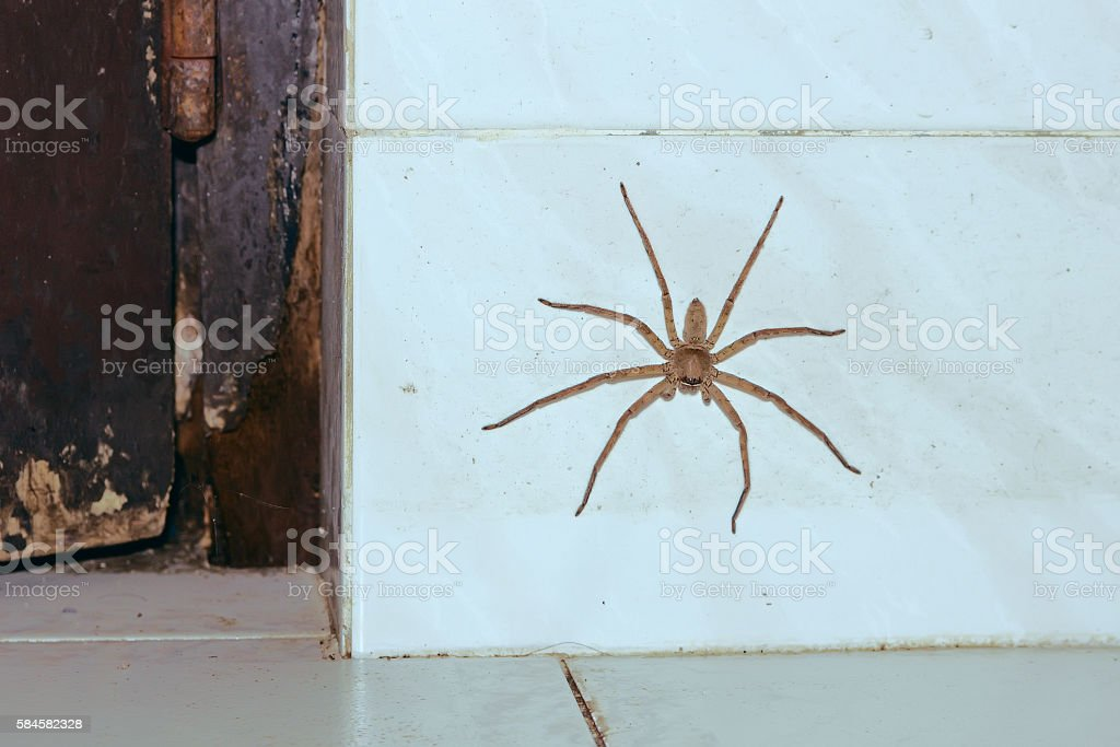 Huge house Spider on the white wall stock photo