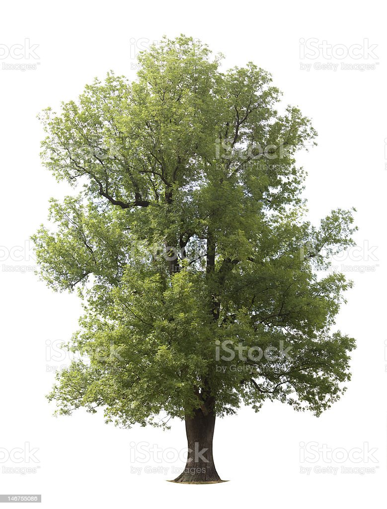 Huge Isolated Ash Tree stock photo