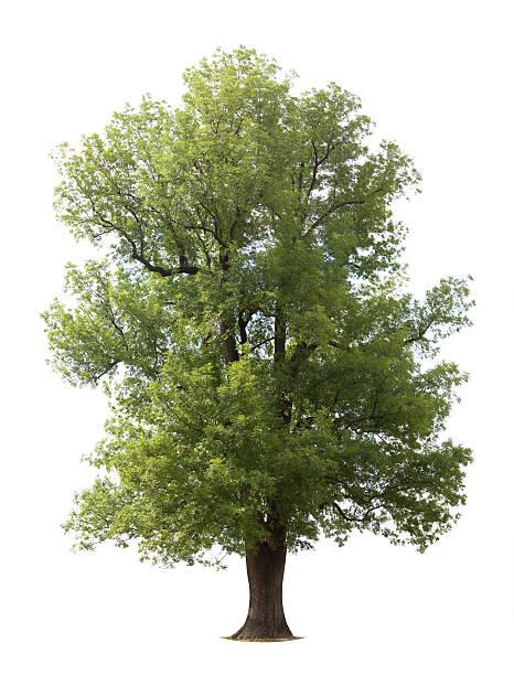 Huge Isolated Ash Tree stock photo