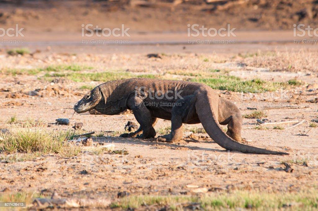 A huge Komodo Dragon walks slowly away while glancing at the photographer. stock photo