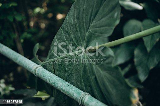 1146115746istockphoto huge leaf of a plant, texture 1166587846