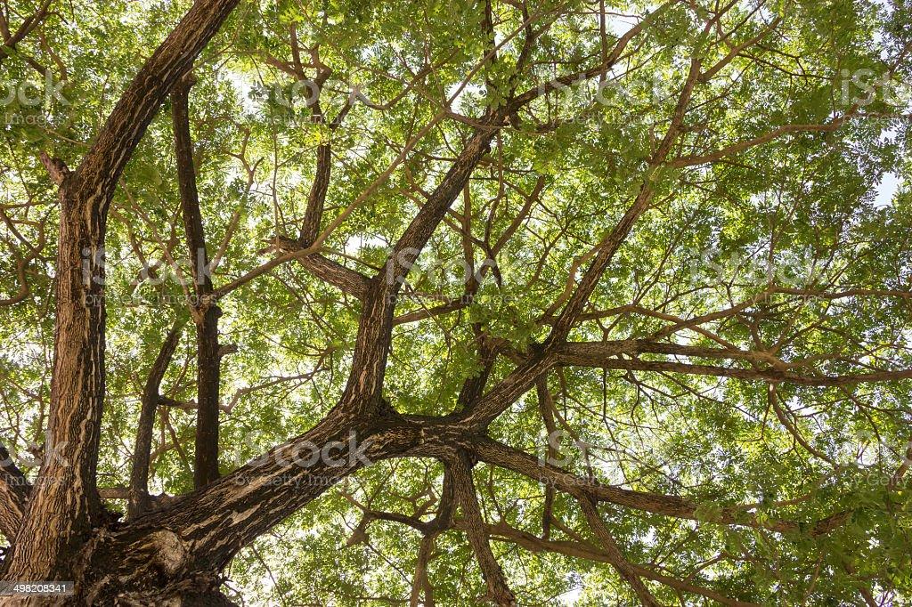 huge leafy tree stock photo