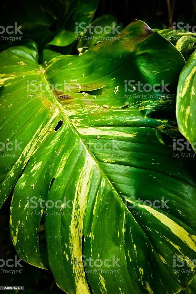 大きなの葉メキシカンジャングル ストックフォト