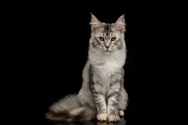 Huge maine coon cat isolated on black background picture id1217124839?b=1&k=6&m=1217124839&s=612x612&w=0&h=zx5sew0xhe327ve9bqp0r0nrwv08exg9hcmccxp8iee=