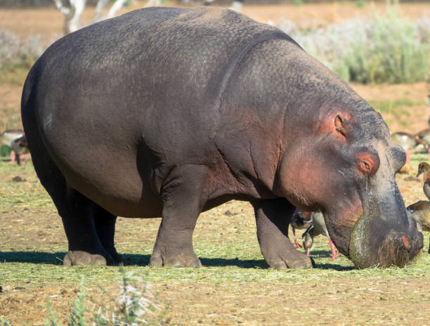 A huge male hippo grazing in the plains of Africa stock photo