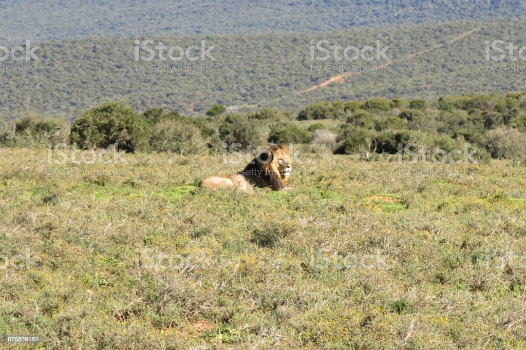 A huge male lion rest at Addo elephant park stock photo