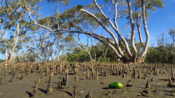 Huge mangrove seed tree illusion stock photo
