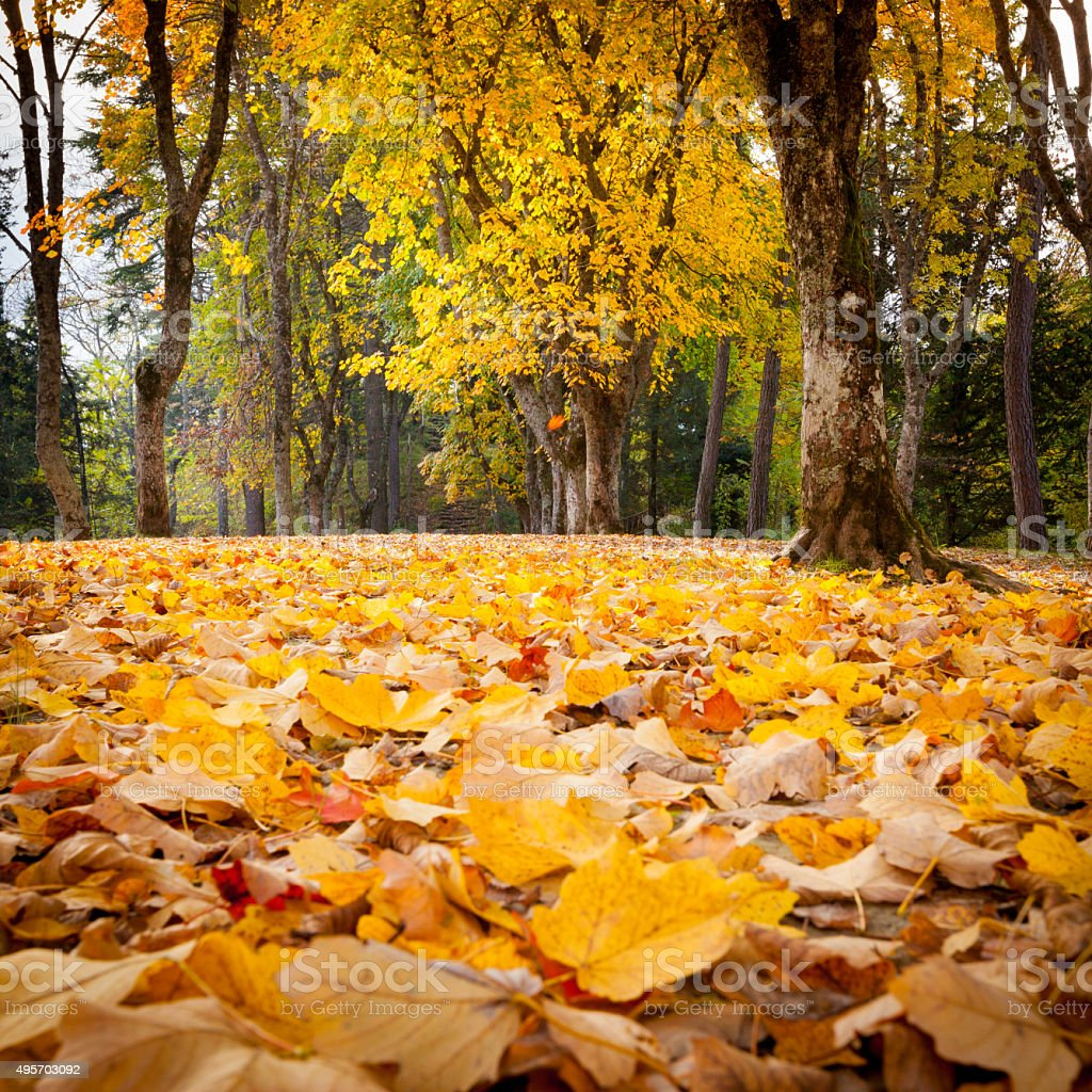 Huge maple tree with golden foliage stock photo