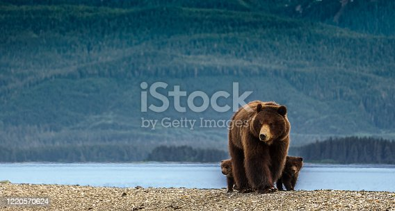 On the beach in Alaska. Brown bear and her kids are looking for food, behind is big green forest. Wildlife on the island close to Juneau. Excursion.
