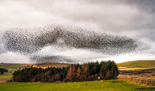 A very large flock of starlings (known as a murmuration) flying together at dusk over a small area of woodland in England, during winter.