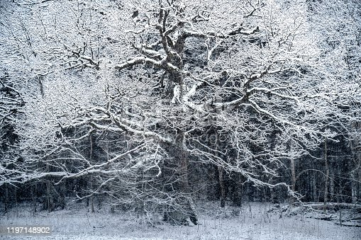 Huge oak tree covered with snow in winter landscape