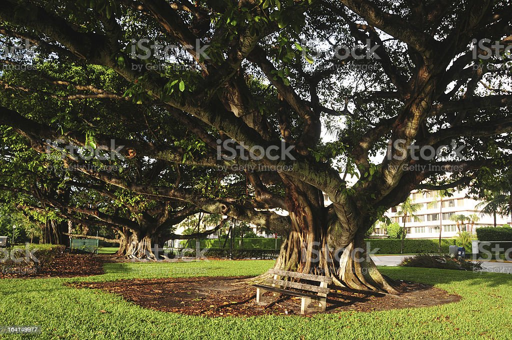 Huge Oak Tree with bench in Palm Beach, Florida stock photo