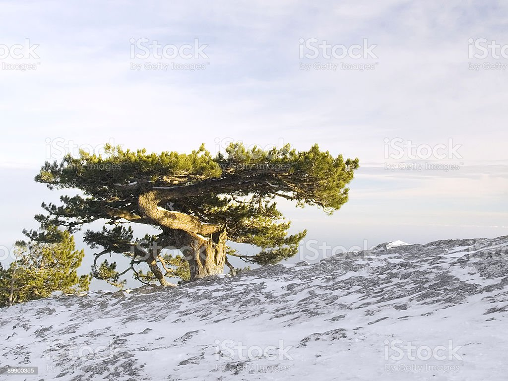 Huge old tree royalty-free stock photo