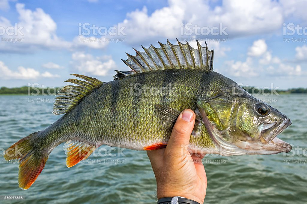 Huge perch fish from the lake – Foto
