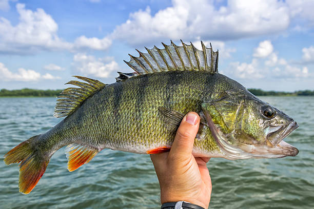 Huge perch fish from the lake Perch fishing trophy in summer scenery perch fish stock pictures, royalty-free photos & images
