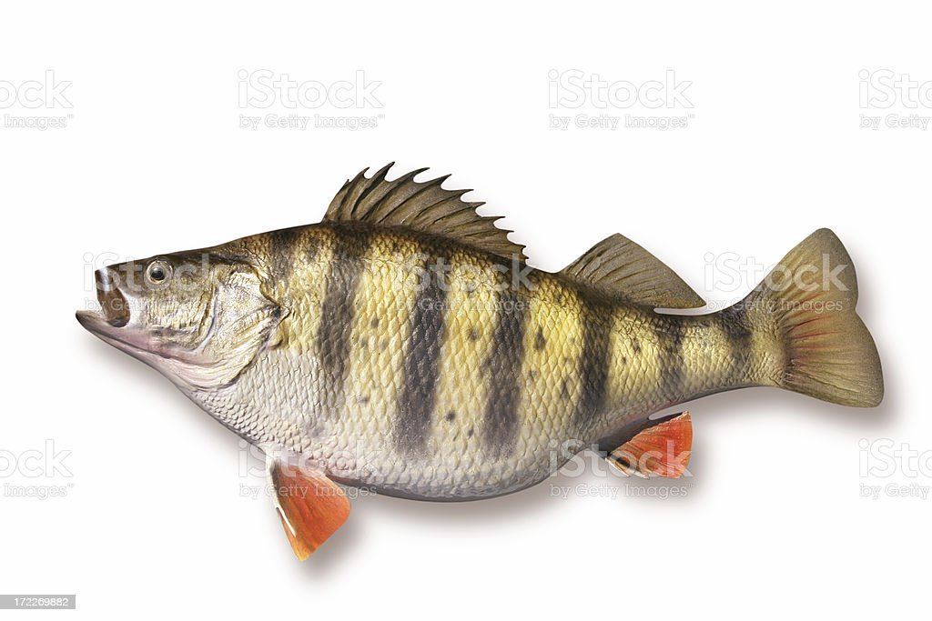 Huge Perch royalty-free stock photo