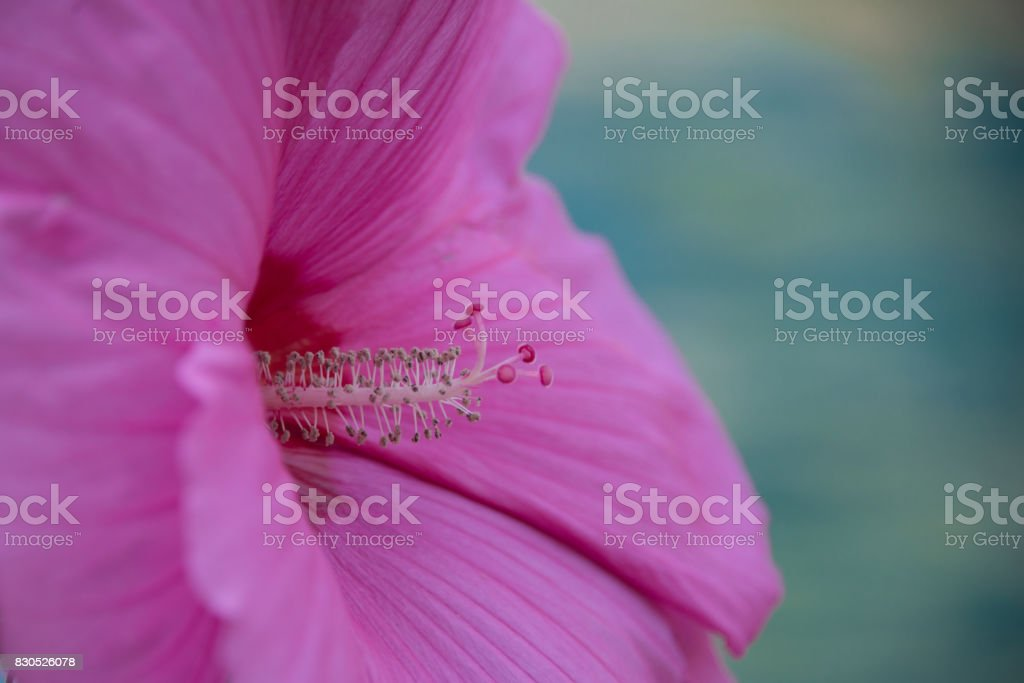 Huge Pink Flower With Detailed Visible Stamen And Polen Stock Photo
