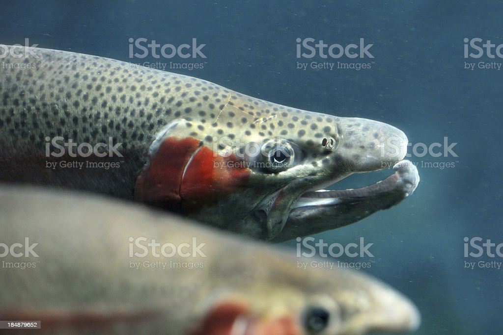 Huge Rainbow Trout stock photo